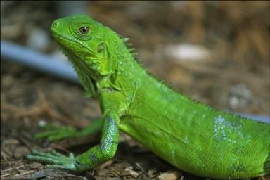 iguana-closeup